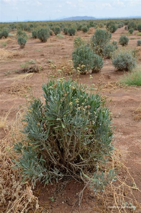 native crops commercial uses for prickly pear and guayule