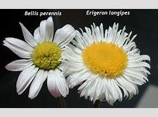 Bellis perennis - fotos Habitat