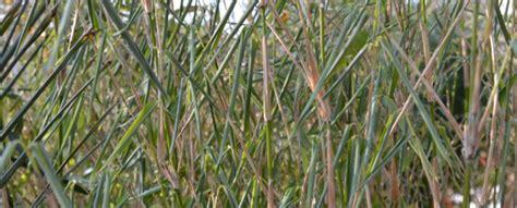 bambus krankheiten bambus im winter bambus wissen