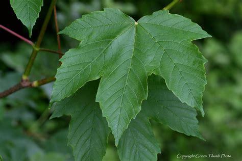 sycamore maple acer pseudoplatanus pei invasive species council