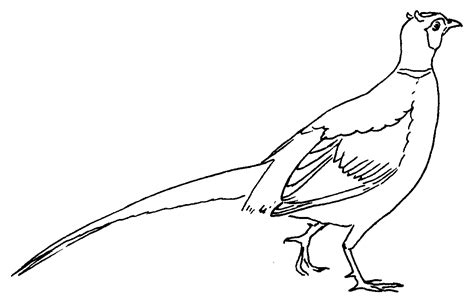drawing free pheasant clipart black and white pencil and in color