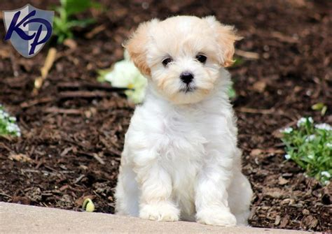 teacup puppies for sale in pa 17 best ideas about maltipoo puppies on teddy dogs teddy