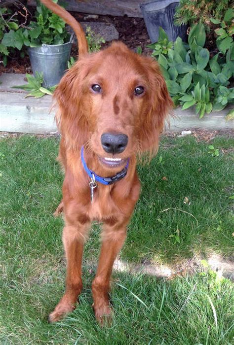 irish setters shed dog care daily puppy