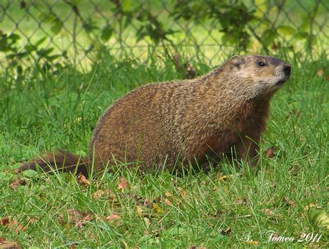 groundhog in backyard frequently asked questions about missouri illinois wildlife