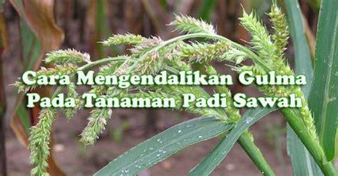 cara membuat zpt tanaman padi cara pengendalian gulma pada tanaman padi sawah