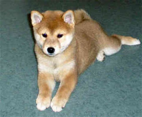 teacup shiba inu puppies for sale teacup shiba inu puppies breeds picture