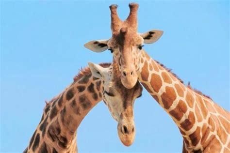 imagenes de jirafas enamoradas jirafas mundo de jirafas
