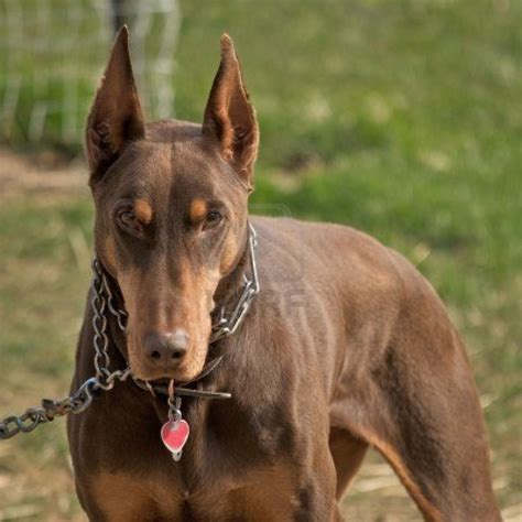 doberman pinscher doberman pinscher pictures wallpapers9