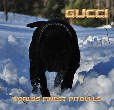 when do pitbull puppies open their gucci worlds finest pit bulls