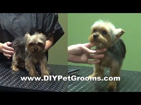 how to groom a yorkie yourself best 25 terrier haircut ideas on yorkie haircuts yorkie and