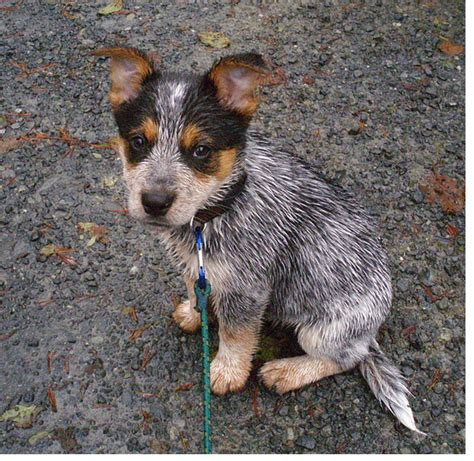 and blue heeler puppies blue heeler newborn puppies queensland heelers