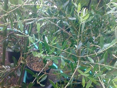 Jual Bibit Pohon Zaitun Jogja jual bibit pohon zaitun alya nabila nursery hp