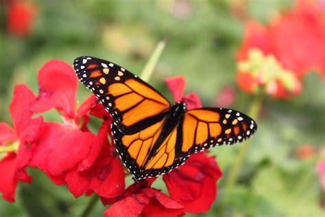 imagenes de mariposas monarcas mariposas monarcas jard 237 n huayac 225 n
