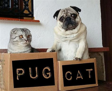 pug cat cat and pug pals travel across spain with cats