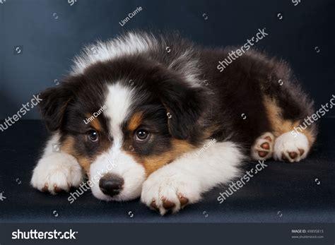 australian shepherd puppies maine sad australian shepherd puppy on black stock photo 49895815