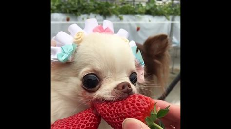 can puppies strawberries really enjoys strawberry chihuahua eats strawberr doovi