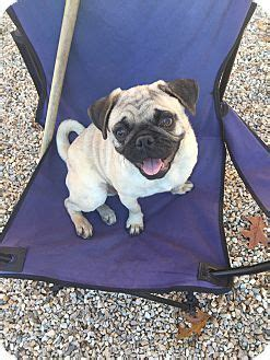 pug breeders in ct 1227 best images about adopt me on theater adoption