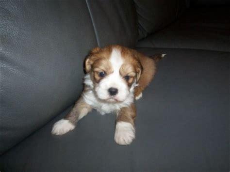 shih tzu lhasa apso mix hypoallergenic bichon frise maltese poodle shih tzu designer breeds puppy sales blue ribbon