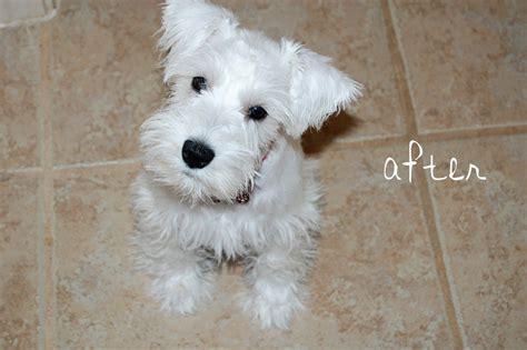 miniature schnauzers haircuts google search schnauzers mini schnauzer white google search my future boy dogs