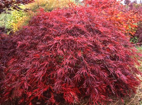 top 28 care for japanese maple japanese maple tree care and selection 20 pictures best 25