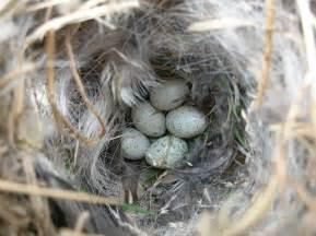 house sparrow eggs flickr photo