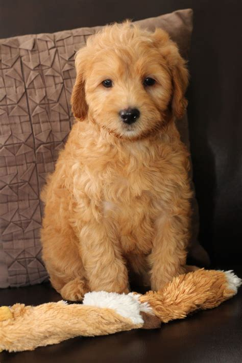 goldendoodle puppy nj 1000 images about mini goldendoodles 2015 on
