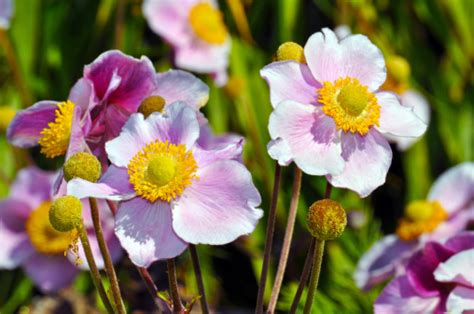 anemone fiore significato significato dei fiori l anemone pollicegreen