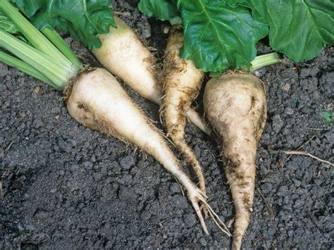 grow sugar beets   sugar diy