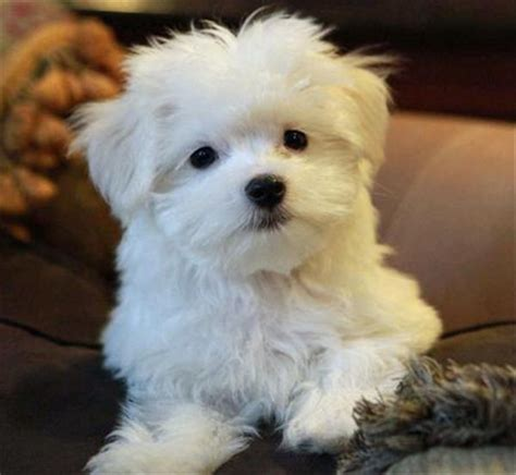 pug dogs for sale nsw this puppy looks just like my bichon frise fluffy she gave some much