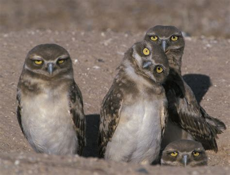 L Owl by The Owl S Perch Owl Of The Week Burrowing Owl