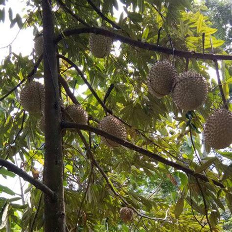 bibit durian musang king alasmalang kemranjen banyumas