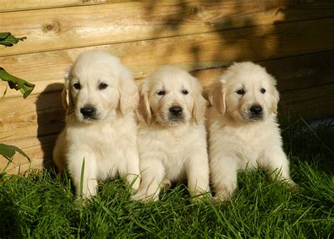 puppies pictures of puppies dogs puppies golden retriever free stock photo domain pictures