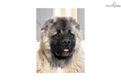 caucasian mountain price caucasian mountain puppy for sale near las vegas nevada 844ceb7e d741