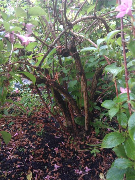 when and how do you prune back weigela the garden of eaden