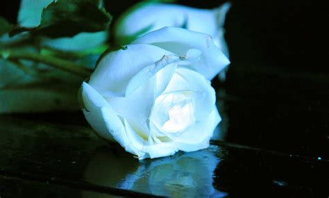 light blue and white roses white roses images beautiful hd wallpapers