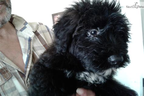 bouvier puppies for sale in michigan bouvier des flandres puppy for sale near detroit metro michigan c9fe1a10 d7d1
