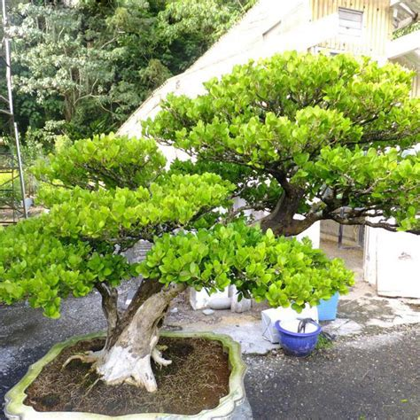 Bonsai Boxus 10515 Limited bonsai yellow poplar seeds a choice for families absorb formaldehyde buxus potted tree