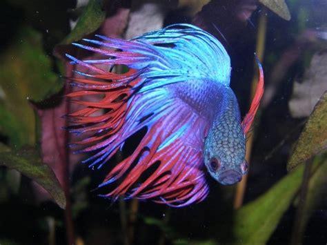 Blue Moon 7 52 Ct most beautiful fish beautiful fish most beautiful fish in