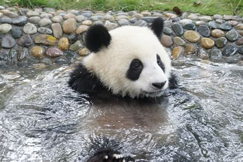 panda bathroom giant panda photos yuan lin takes a bath in the pond at