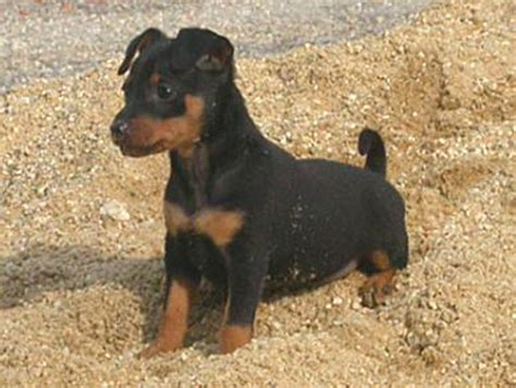 alimentazione pincher differenze tra pinscher pinscher nano e pinscher