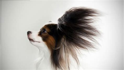 animal planet breed selector papillon breed selector animal planet