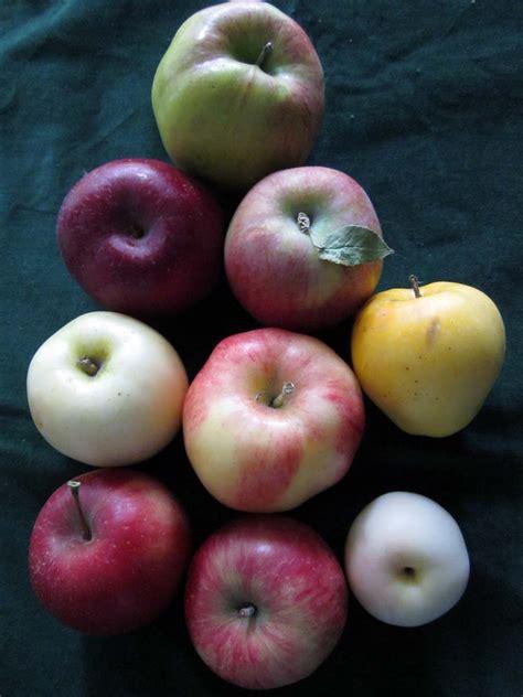 apple varieties related keywords suggestions for heirloom apple trees
