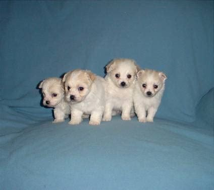 maltese pomeranian mix price pomeranian maltese mix indianapolis usa free classifieds muamat