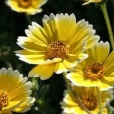 Bunga Kapas Ungu Isi 10 bibit bunga jmp white cotton