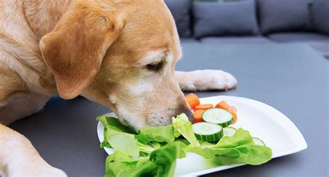can dogs eat cucumbers can dogs eat cucumbers the labrador site
