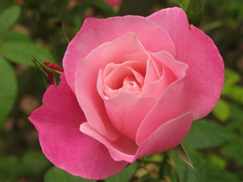 pink rosebud rose bud pink bloom flower bud rose