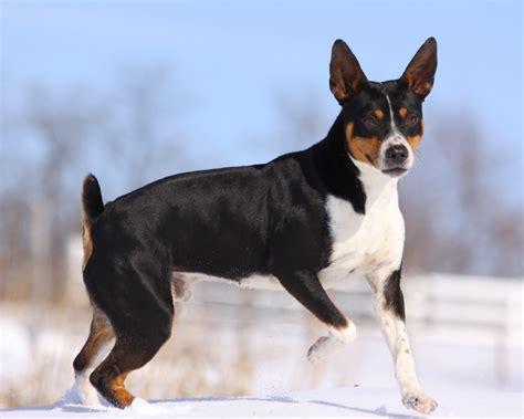 standard rat terrier puppies for sale seegmiller standard rat terriers planned breedings