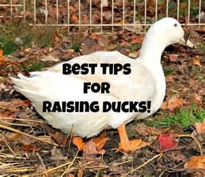 best tips for raising ducks timber creek farm