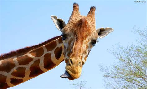 imagenes de jirafas sacando la lengua żyrafa język