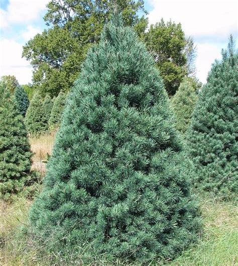 Exceptional Scotch Pine Artificial Christmas Tree #3: C.jpg
